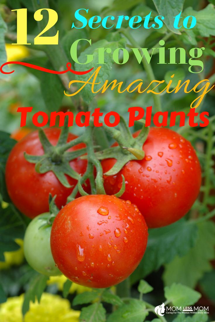 Secrets To Growing Amazing Tomato Plants